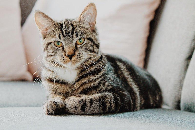 tabby cat lying on a sofa